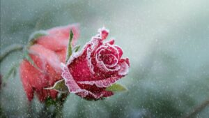 beautiful rose pics 7