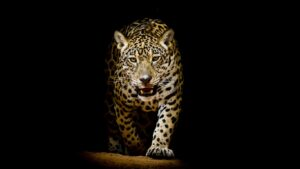 Wild Cat Wallpapers HD 14