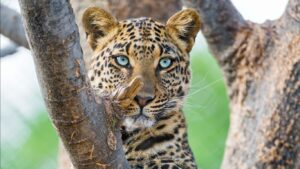 Wild Cat Wallpapers HD 18