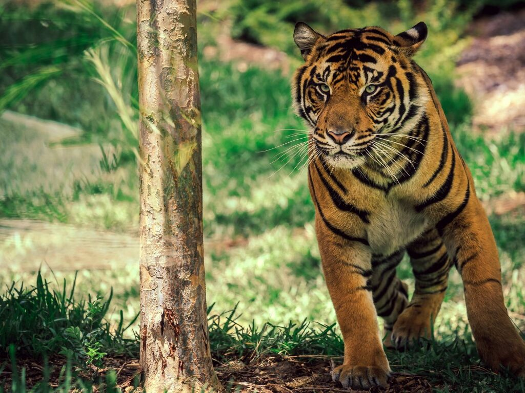 Wild Cat Wallpapers HD 30