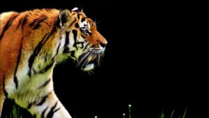 Wild Cat Wallpapers HD 5