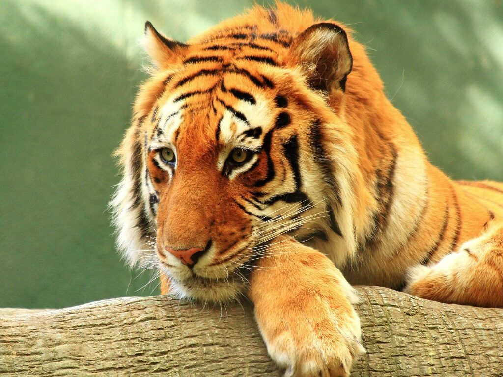 Wild Cat Wallpapers HD 6
