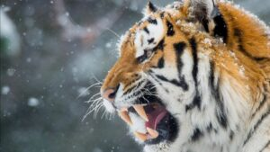 Wild Cat Wallpapers HD 11
