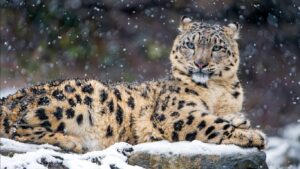 Wild Cat Wallpapers HD 31